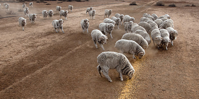 Drought-related animal health