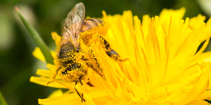 Honeybee pollination, an important role in Agrobiodiversity